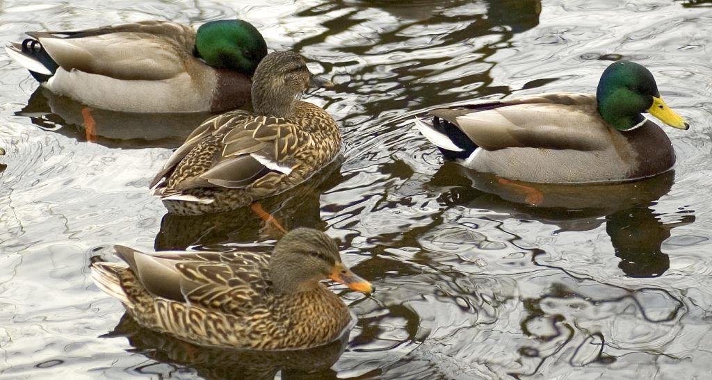 Дикая утка кряква: описание, советы по содержанию и уходу