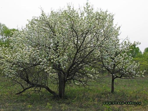 Посадка груши осенью. Пересадка груши на новое место весной. Какие преимущества осенней посадки груши
