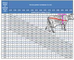 Масса шкуры от живой массы составляет. Как узнать сколько весит корова без взвешивания